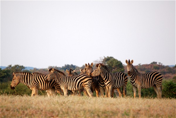 Heard of Zebra look great in most light conditions. South Africa Safari light conditons change everyday and so your guide can advise what is best to you on the day.