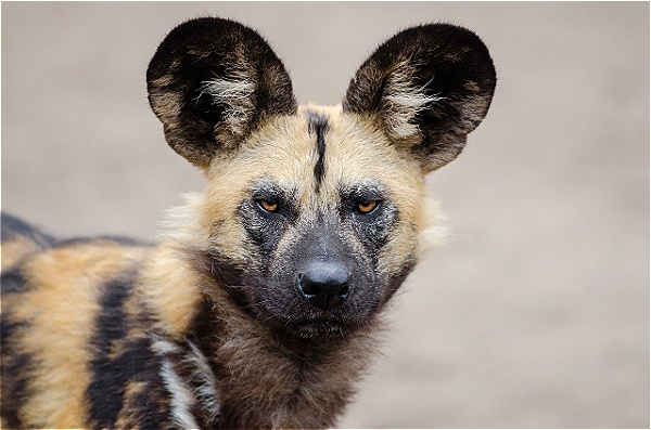 Game Viewing vantage points can give you a rare opportunity to see some amazing Wild Dogs