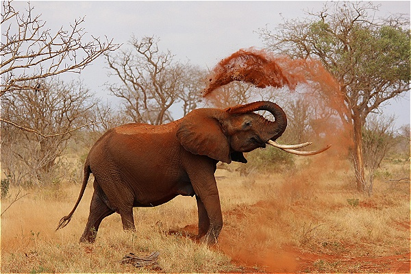 Kruger national Park wildlife safaris give you the opportunity to view majestic elephants