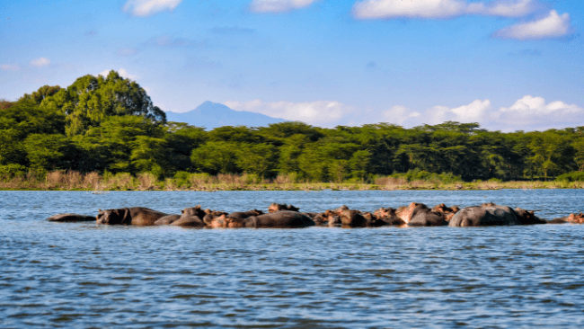 African Safari Hippos in a group in a river