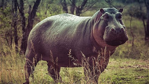 Safari Lodge Hippo in the day time, this is very rare